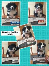 Border Collie Puppies Warragul Baw Baw Area Preview