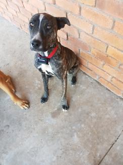 1yo female dog for sale