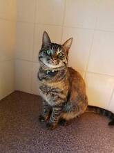 """Abbie"" - young tortie cat Bexley Rockdale Area Preview"
