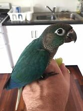 Turquoise/yellowside  Blue Male Handraised Monkland Gympie Area Preview