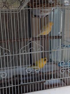 Canaries For Sale ! Mount Pritchard Fairfield Area Preview