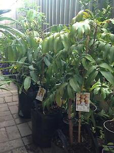 Fruit tree and plant for sale Baldivis Rockingham Area Preview