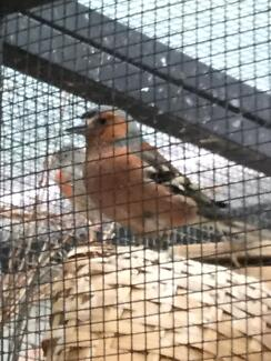finches finches