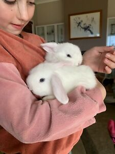 Purebred mini lop baby does ready to go!
