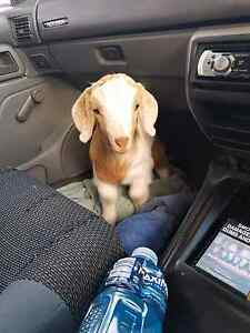 HELP!!! BABY GOAT ESCAPED Gidgegannup Swan Area Preview