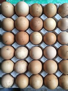Fertile chicken eggs Chester Hill Bankstown Area Preview