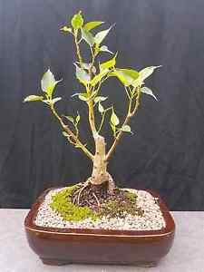 Bonsai.  Ficus Religiosa. Boudi Fig Cremorne North Sydney Area Preview