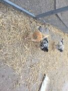 Pullets Katanning Pallinup Area Preview