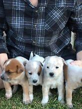 Pure red cattle puppy dogs Penrith Penrith Area Preview