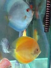 NEW SHIPMENT- HIgh grade DISCUS tropical fish - Como South Perth Area Preview