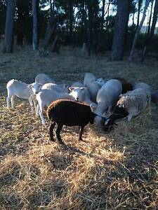 Lambs for sale Noggerup Donnybrook Area Preview