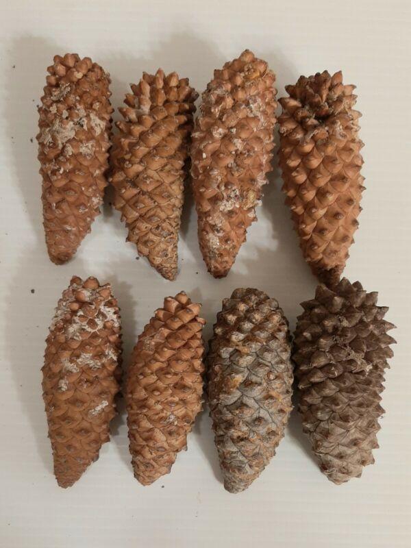 "Knobcone pine knob cone natural 4"" Lot of 8 Third Eye Jewelry Craft rare"