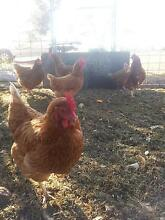 Free-6 Isa Brown chooks Jennacubbine Goomalling Area Preview