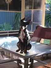 Sylar stumpy tail cattle x kelpie Jewells Lake Macquarie Area Preview