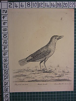 1736 DATED PRINT THE GREATER RED START ~ ANTIQUE BIRD PRINT ELEAZER ALBIN ~