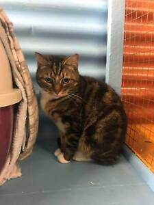 PEBBLES (021-20) - rescue cat - *Vet Work Included* Brookdale Armadale Area Preview