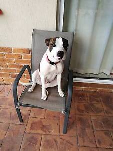 Bull Arab X Female dog free to good family Stretton Brisbane South West Preview