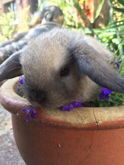 Tiny size pure breed Mini lop chocolate tort ready now