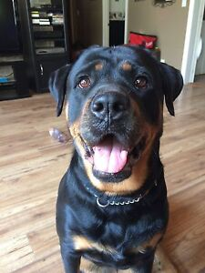 one female American Rottweiler left! Belleville Belleville Area image 3