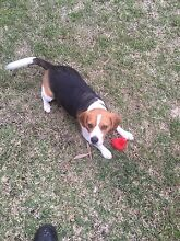 Wanted male tri colour beagle. Cessnock Cessnock Area Preview