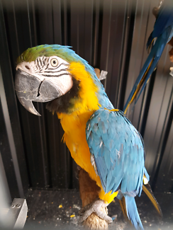 Mature Female 5 year old Blue and Gold Macaw