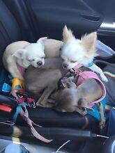Dog & house sitter needed! Bondi Eastern Suburbs Preview