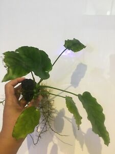 Anubias in larva rock fish/shrimp tank