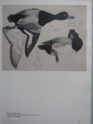 BEAUTIFUL TUNNICLIFFE BIRD PRINT ~ SCAUP MALE DUCK