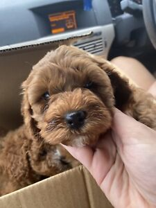 3 gorgeous ruby toy cavoodles