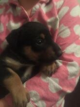 Pure bred Black and Tan kelpie pups Mid Murray Preview