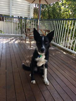 Border Collie X GIVEAWAY
