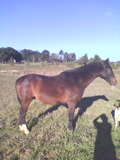 Stock Horse Gelding Lowanna Coffs Harbour Area Preview
