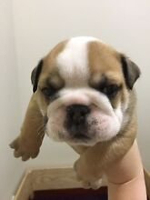 British Bulldog Puppies (ALL SOLD PENDING DEPOSIT) Yokine Stirling Area Preview