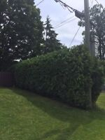 HEDGE TRIMMING/ SMALL TREE REMOVAL