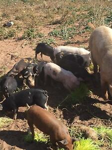 Piglets Bute Barunga West Preview