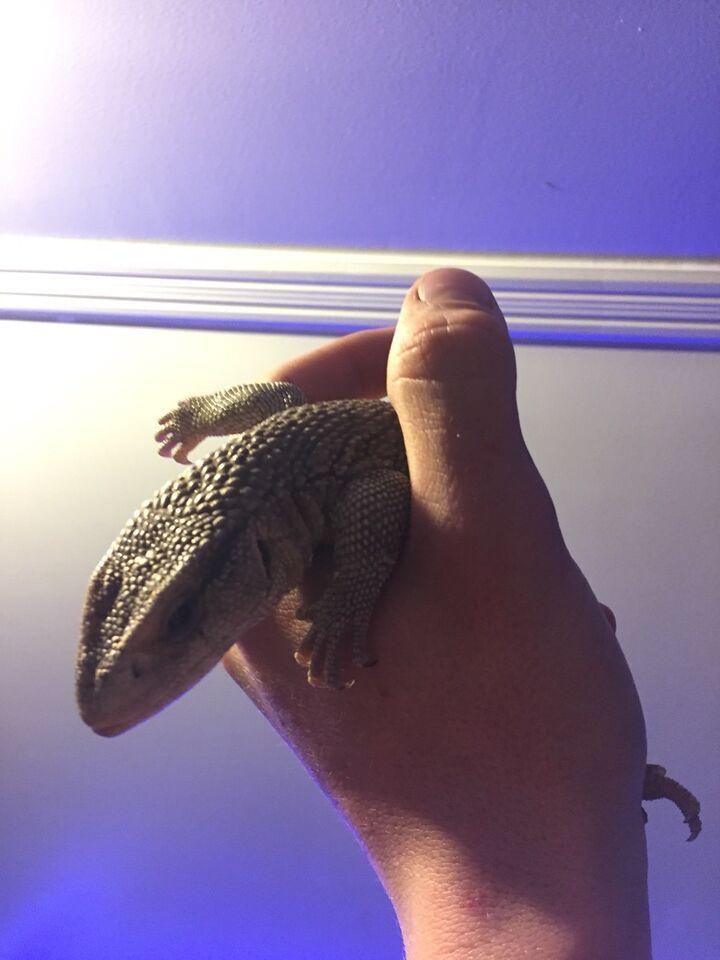 how to tame a savannah monitor lizard