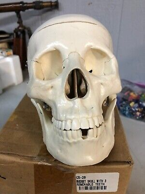 Life Size Human Med Medical Anatomical Skull Model Budget W Removal Teeth Cs-20
