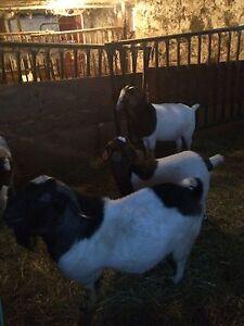 Mature Black and White boer goat buck Stratford Kitchener Area image 3