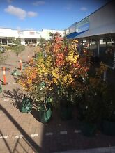 Advanced tree sale Sunday May 15th 10AM-2PM all under $100 Subiaco Subiaco Area Preview