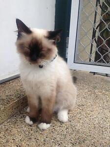Regretful sale. 10 month old Ragdoll desexed Bonnells Bay Lake Macquarie Area Preview