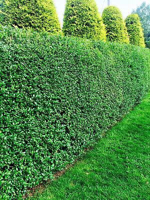 60 Green Privet Big Leaf Evergreen Hedging Plants 25-40cm Big Pots