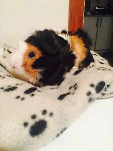 Abbysinian Guinea Pigs: 1.5 year old male & 2 year old female