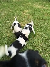 Mini Foxy Puppies Stanthorpe Southern Downs Preview