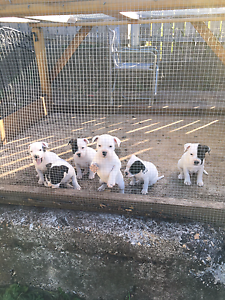 6 staffy pups for sale Deloraine Meander Valley Preview