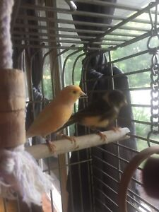 2 Canaries and cage *reduced*
