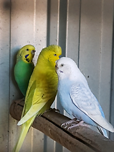 Budgies for sale Helensvale Gold Coast North Preview