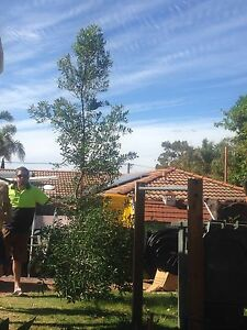 4m olive tree Duncraig Joondalup Area Preview