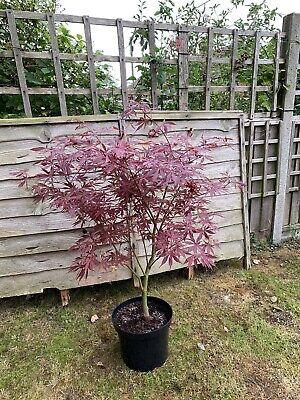 Acer Palmatum Suminagashi Japanese Maple