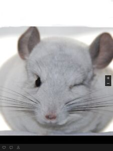 Looking for female chinchillas