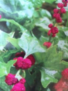 Strawberry Spinach plant   2 for $1